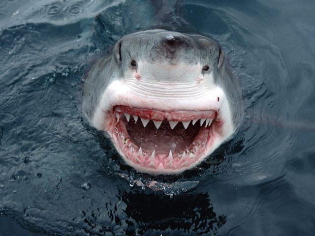 white-shark-face