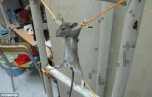 bound rodent
