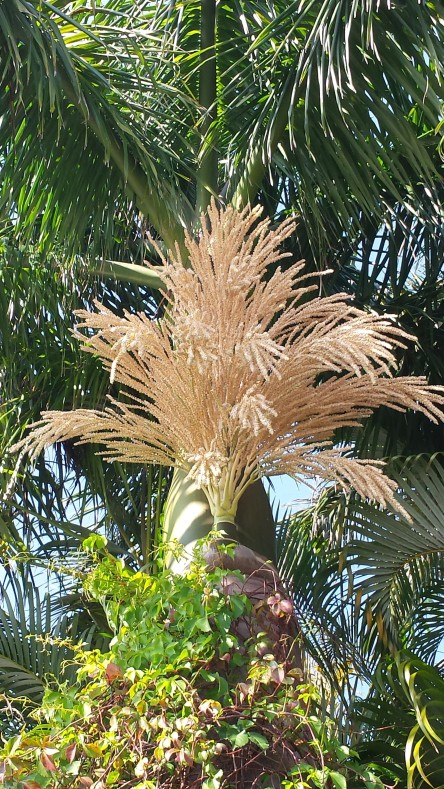 Royal Palm flowers, about 20 feet up. The seed pod that landed in the yard was about 5 feet long.