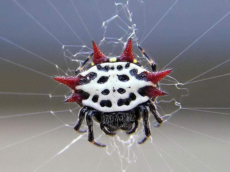 crab spider web | Obalesque